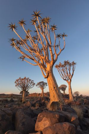 Namibia_Quiver_Tree_Forest_002.jpg