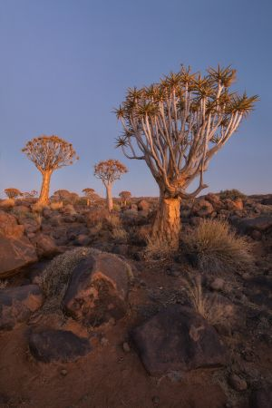Namibia_Quiver_Tree_Forest_006.jpg